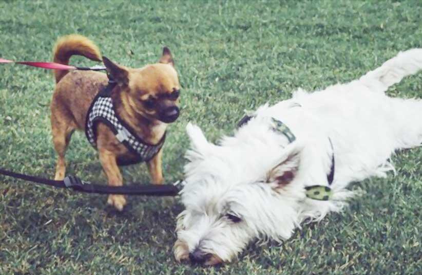 how to leash train a dog