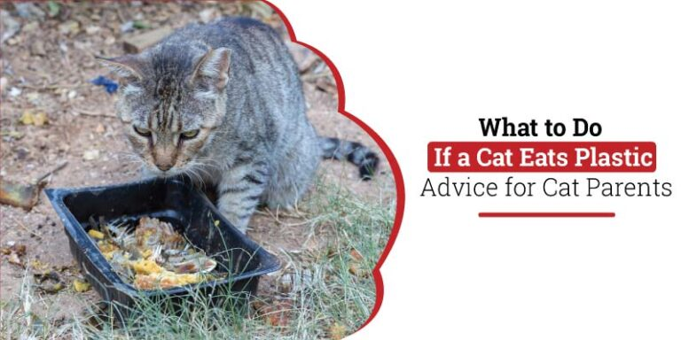What-to-do-if-a-cat-eats-plastic